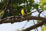 Social flycatcher [panama_0093]