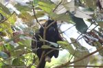 Male howler monkey [panama_0095]