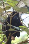 Male howler monkey [panama_0096]