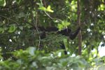 Male howler monkey [panama_0097]
