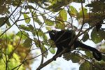 Male howler monkey [panama_0101]