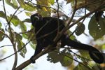 Male howler monkey [panama_0102]