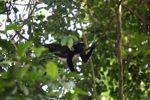 Male howler monkey [panama_0107]