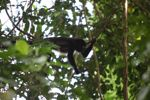 Male howler monkey [panama_0110]