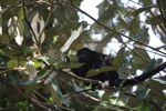 Male howler monkey [panama_0113]