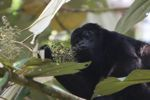 Male howler monkey [panama_0115]
