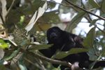 Male howler monkey [panama_0116]