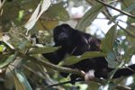 Male howler monkey [panama_0118]