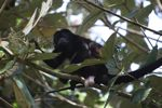 Male howler monkey [panama_0119]