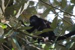 Male howler monkey [panama_0120]