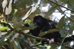 Male howler monkey [panama_0121]