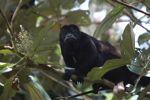 Male howler monkey