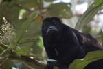 Male howler monkey [panama_0125]