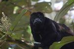Male howler monkey [panama_0125]