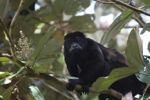 Male howler monkey [panama_0126]