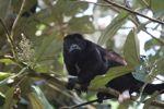 Male howler monkey [panama_0128]