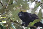 Male howler monkey [panama_0133]
