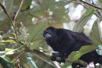 Male howler monkey [panama_0133]
