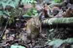 Lowland Paca (Cuniculus paca) [panama_0141]