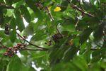 Squirrel eating fruit in Panama