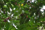 Squirrel eating fruit in Panama [panama_0149]