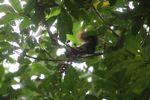 Squirrel eating fruit in Panama [panama_0151]