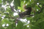 Squirrel eating fruit in Panama [panama_0152]