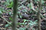 Forest groundbird [panama_0155]
