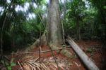 Leaf-cutter ant nest [panama_0167]