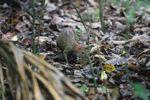 Lowland Paca (Cuniculus paca) [panama_0170]