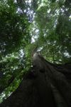 Giant kapok ('Big Tree') in Panama's rainforest [panama_0201]