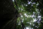 Giant kapok ('Big Tree') in the Panamanian rainforest [panama_0203]