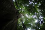 Giant ceiba ('Big Tree') in the Panamanian rainforest