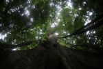 Giant kapok ('Big Tree') in Panama's rainforest