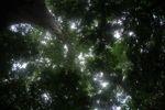 Giant kapok ('Big Tree') in the Panamanian rainforest
