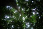 Giant kapok ('Big Tree') in Panama's rainforest [panama_0209]
