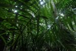 Palm grove in Panama's rain forest