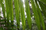 Palm frond [panama_0220]