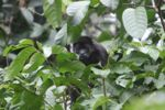 Howler monkey [panama_0229]