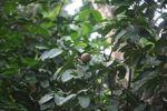 Cannonball fruit [panama_0248]