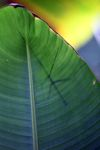 Stick insect silhouetted on a leaf