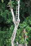 Series of ladders used to study the rainforest canopy