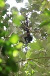Baby spider monkey [panama_0292]