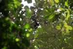 Baby spider monkey [panama_0293]