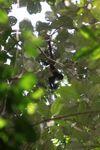 Baby spider monkey [panama_0296]