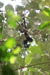 Baby spider monkey [panama_0297]