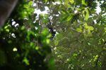 Baby spider monkey [panama_0298]