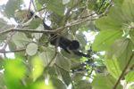 Baby spider monkey [panama_0301]