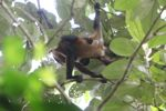 Baby spider monkey on its mother's back