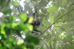 Female spider monkey [panama_0305]